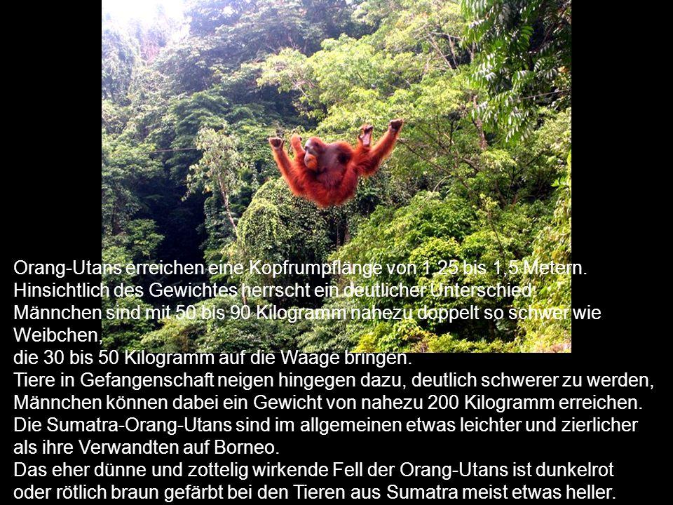 Orang-Utans erreichen eine Kopfrumpflänge von 1,25 bis 1,5 Metern.