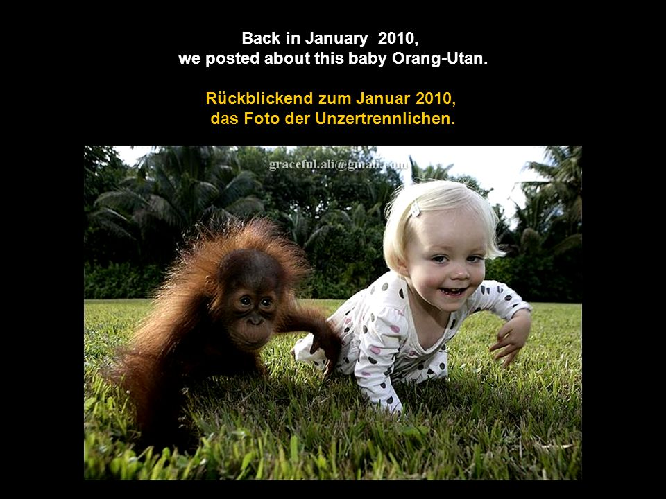 we posted about this baby Orang-Utan. Rückblickend zum Januar 2010,