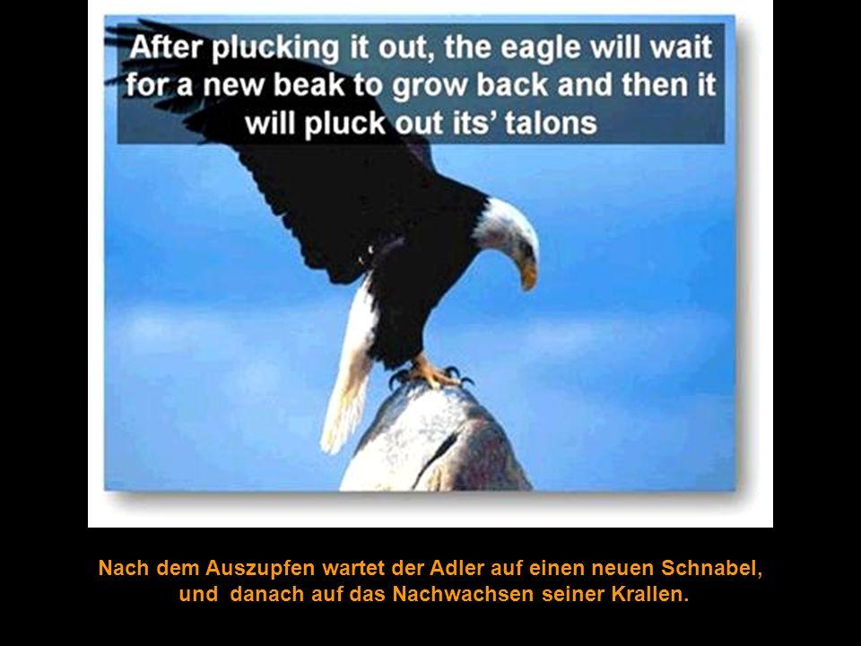 Nach dem Auszupfen wartet der Adler auf einen neuen Schnabel,