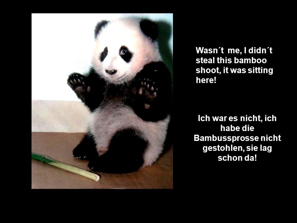 Wasn´t me, I didn´t steal this bamboo shoot, it was sitting here!