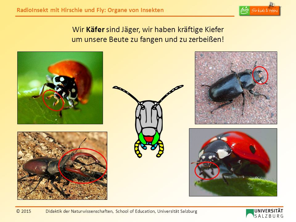 Wir Käfer sind Jäger, wir haben kräftige Kiefer um unsere Beute zu fangen und zu zerbeißen!