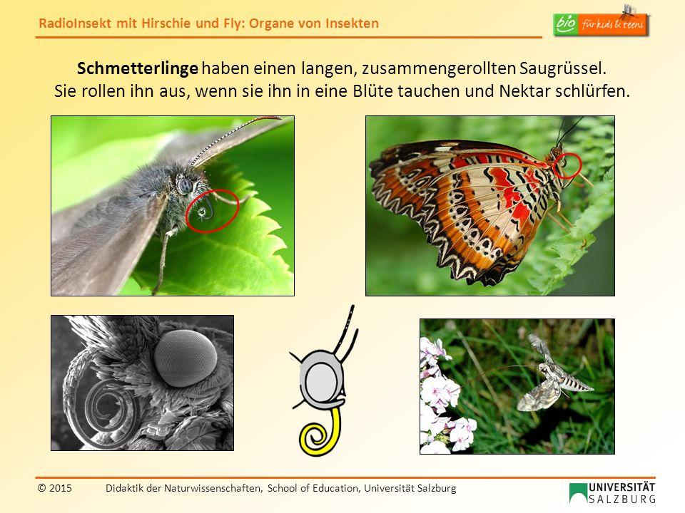 Schmetterlinge haben einen langen, zusammengerollten Saugrüssel.