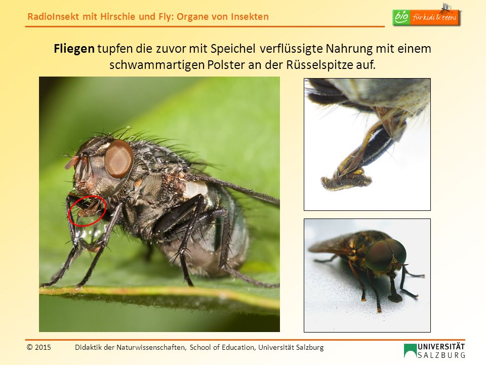 Fliegen tupfen die zuvor mit Speichel verflüssigte Nahrung mit einem schwammartigen Polster an der Rüsselspitze auf.