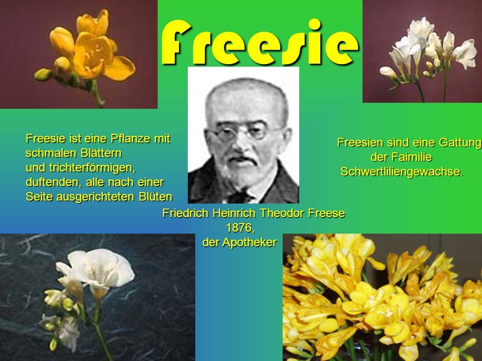 Freesie Freesie ist eine Pflanze mit schmalen Blättern