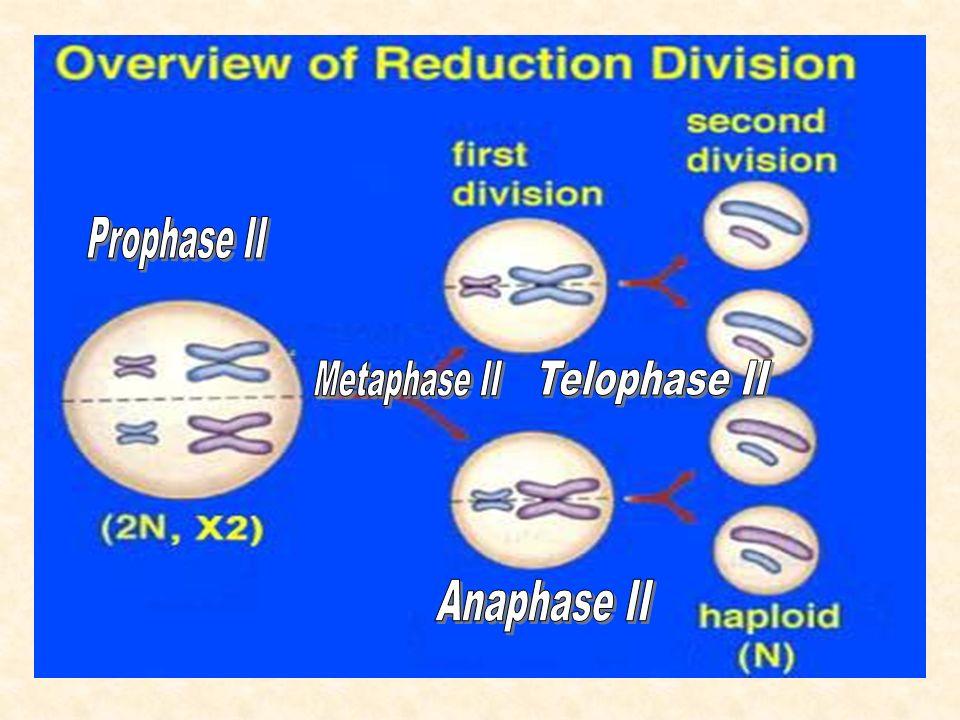 Prophase II Metaphase II Telophase II Anaphase II