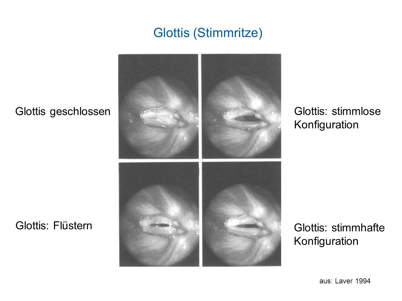 Glottis (Stimmritze) Glottis geschlossen