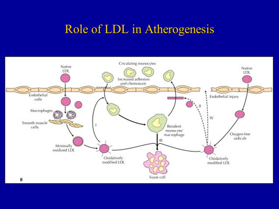 Role of LDL in Atherogenesis