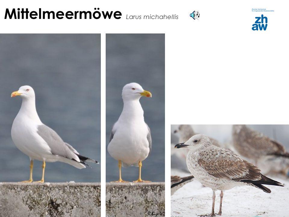 Mittelmeermöwe Larus michahellis