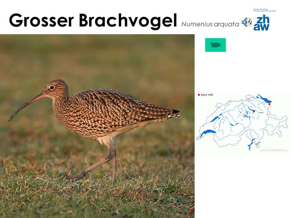 Grosser Brachvogel Numenius arquata