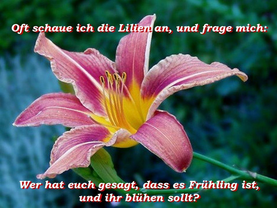 Oft schaue ich die Lilien an, und frage mich: