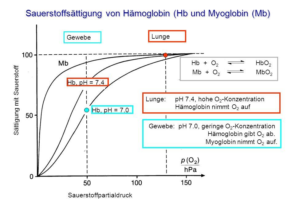 Sauerstoffsättigung von Hämoglobin (Hb und Myoglobin (Mb)