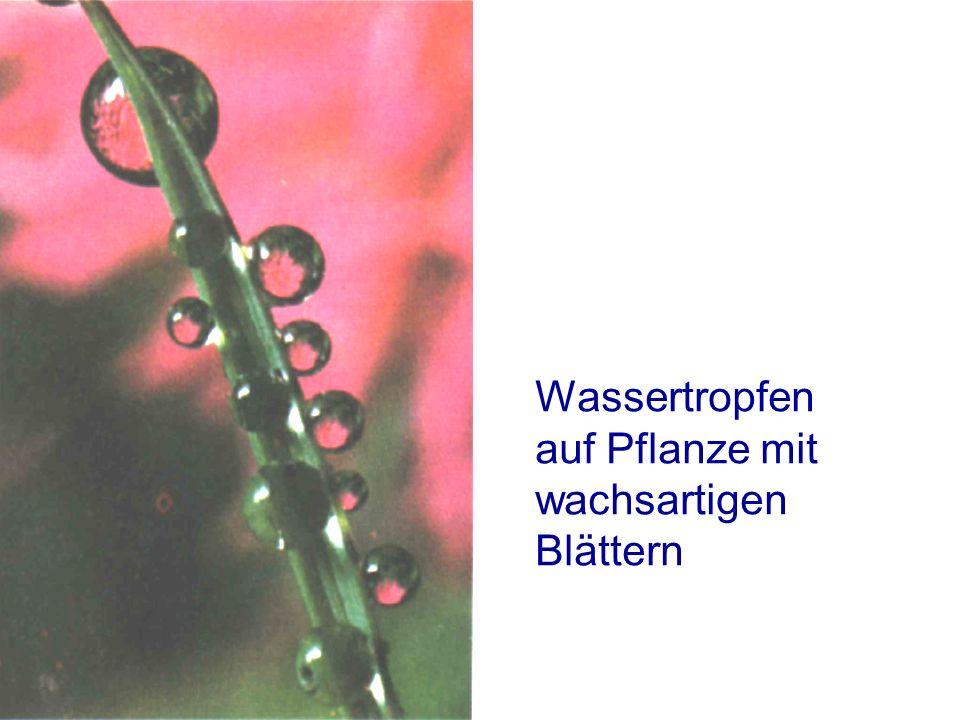 Wassertropfen auf Pflanze mit wachsartigen Blättern