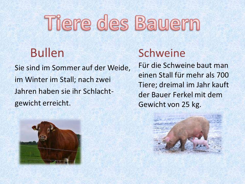 Tiere des Bauern Bullen Schweine Sie sind im Sommer auf der Weide,