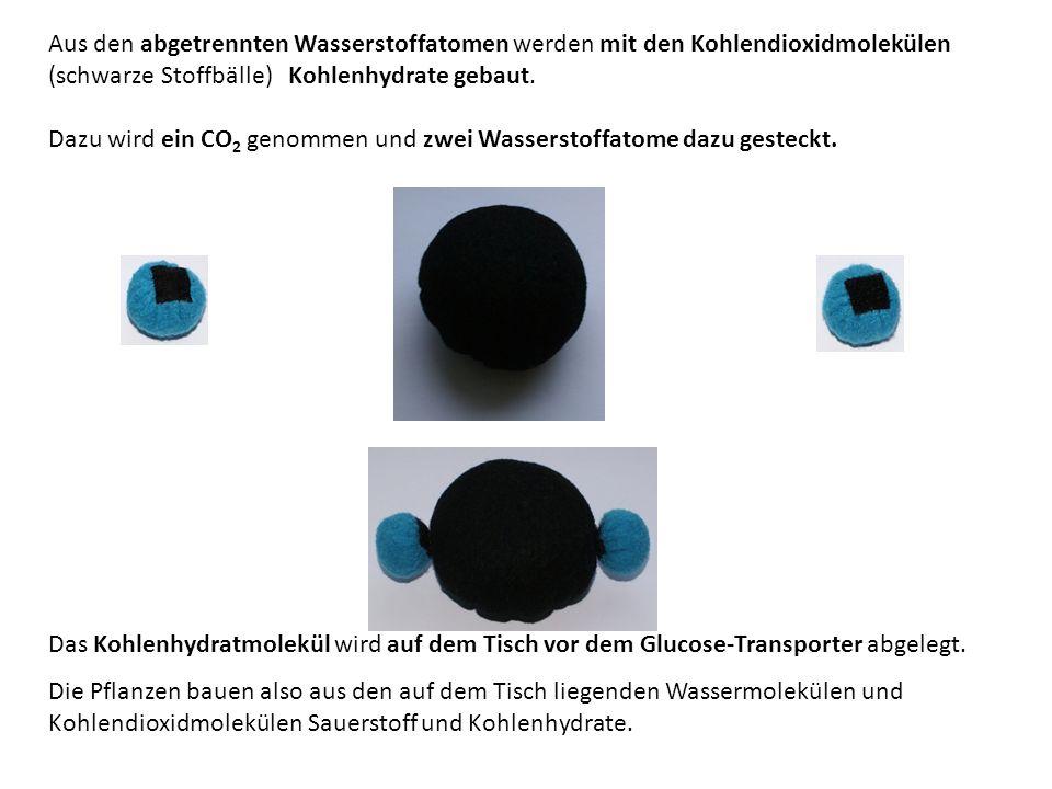 Aus den abgetrennten Wasserstoffatomen werden mit den Kohlendioxidmolekülen (schwarze Stoffbälle) Kohlenhydrate gebaut.