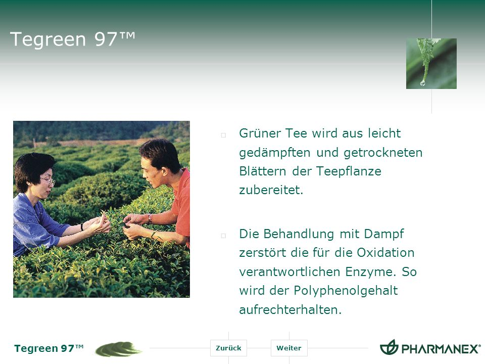 Tegreen 97™ Grüner Tee wird aus leicht gedämpften und getrockneten Blättern der Teepflanze zubereitet.