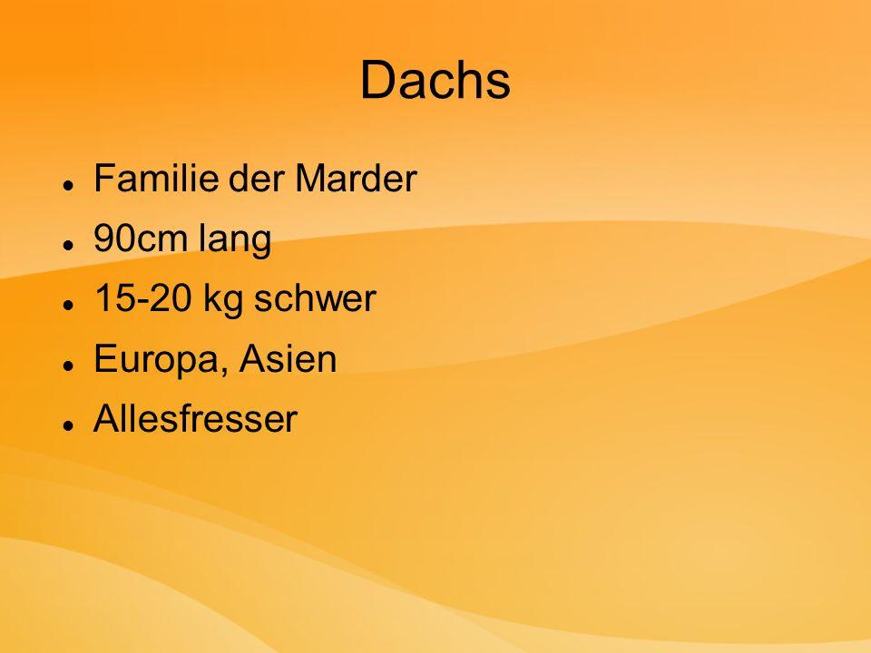 Dachs Familie der Marder 90cm lang 15-20 kg schwer Europa, Asien
