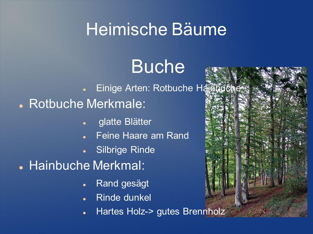 Buche Heimische Bäume Rotbuche Merkmale: Hainbuche Merkmal: