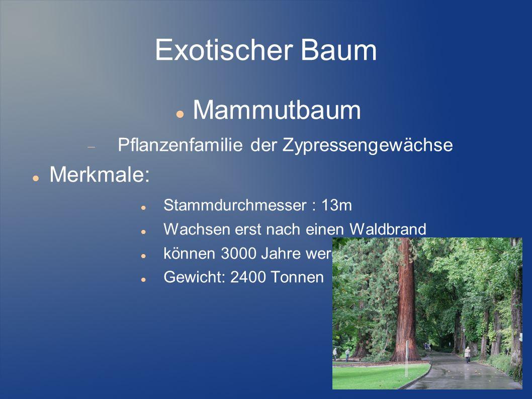 Exotischer Baum Mammutbaum Merkmale:
