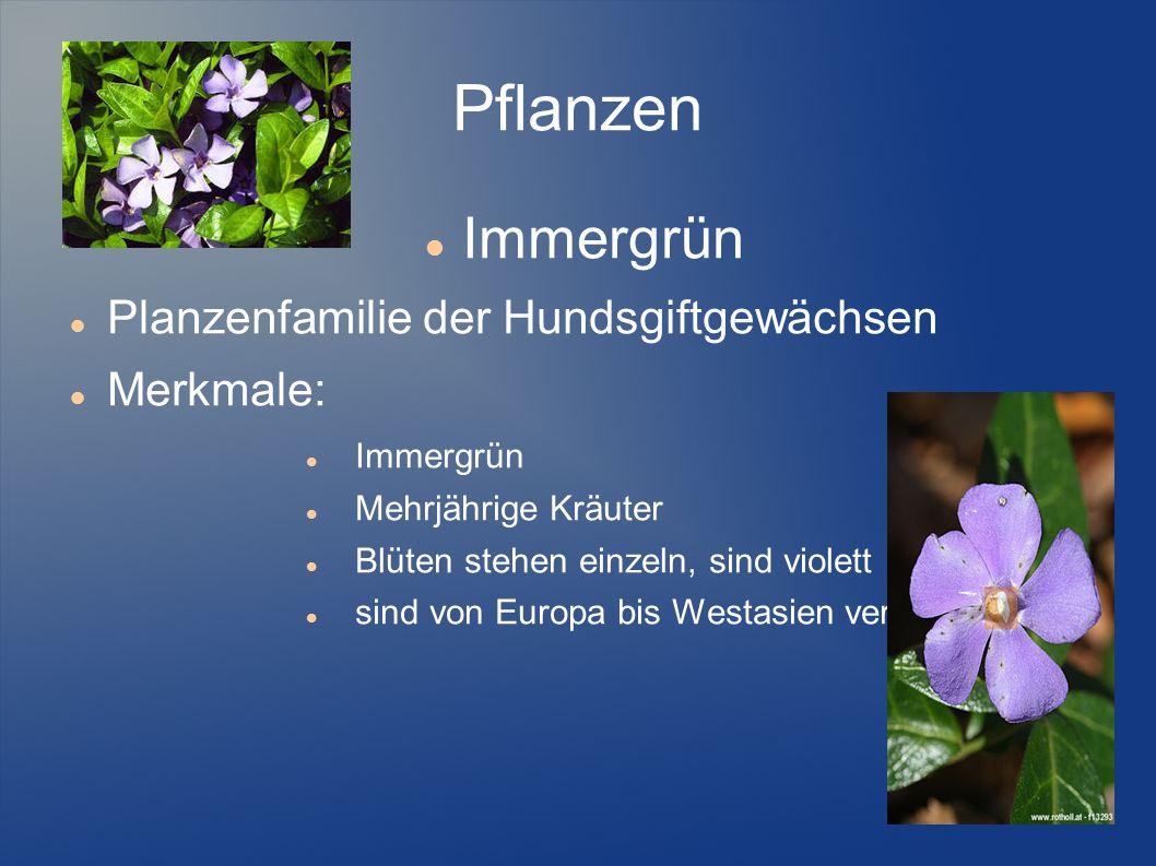 Pflanzen Immergrün Planzenfamilie der Hundsgiftgewächsen Merkmale: