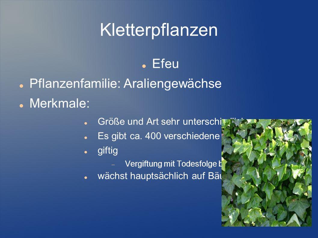 Kletterpflanzen Efeu Pflanzenfamilie: Araliengewächse Merkmale: