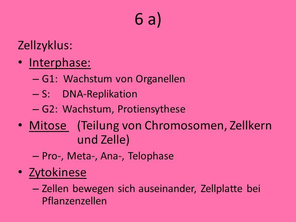 6 a) Zellzyklus: Interphase: