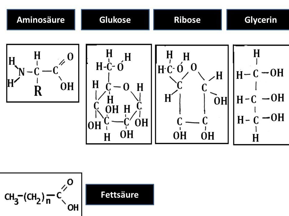 Aminosäure Glukose Ribose Glycerin Fettsäure