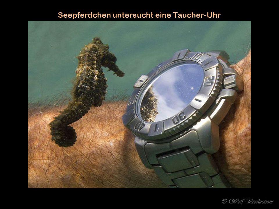 Seepferdchen untersucht eine Taucher-Uhr