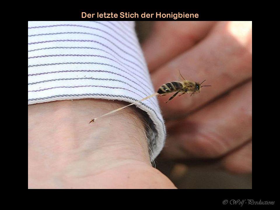 Der letzte Stich der Honigbiene