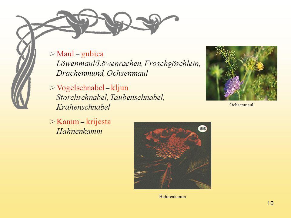 Löwenmaul/Löwenrachen, Froschgöschlein, Drachenmund, Ochsenmaul