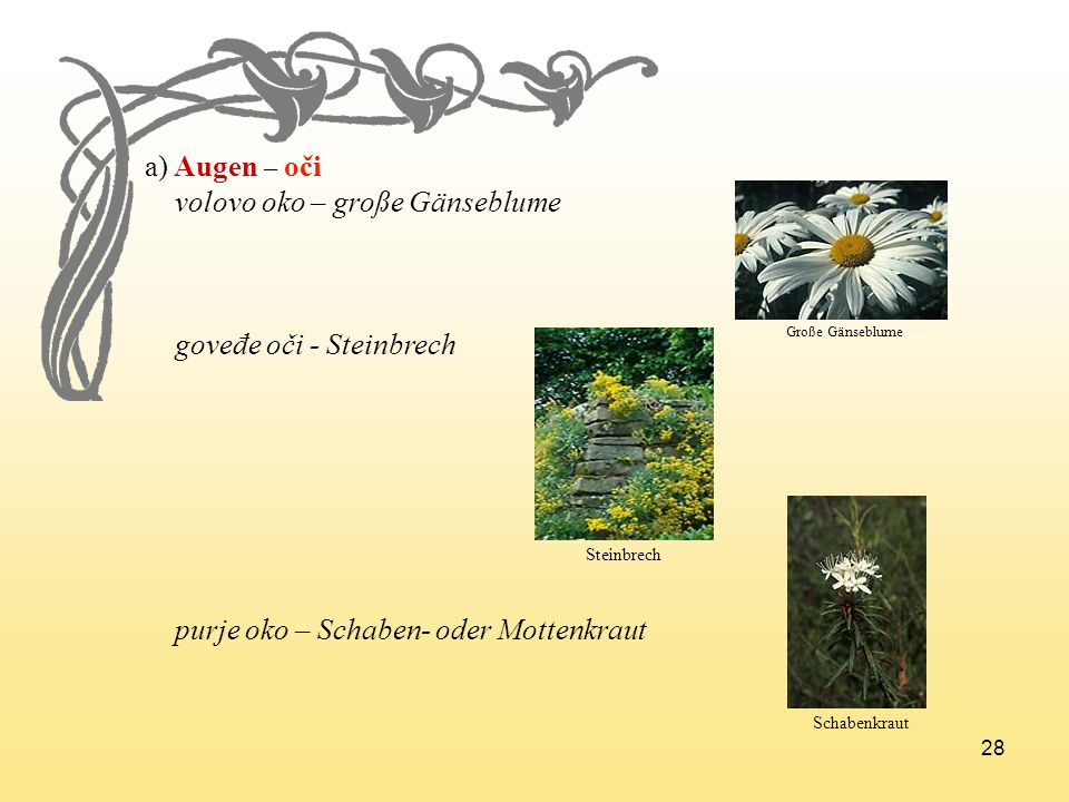 volovo oko – große Gänseblume