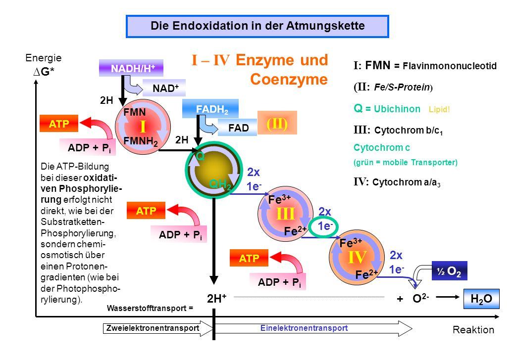I III IV I – IV Enzyme und Coenzyme (II)