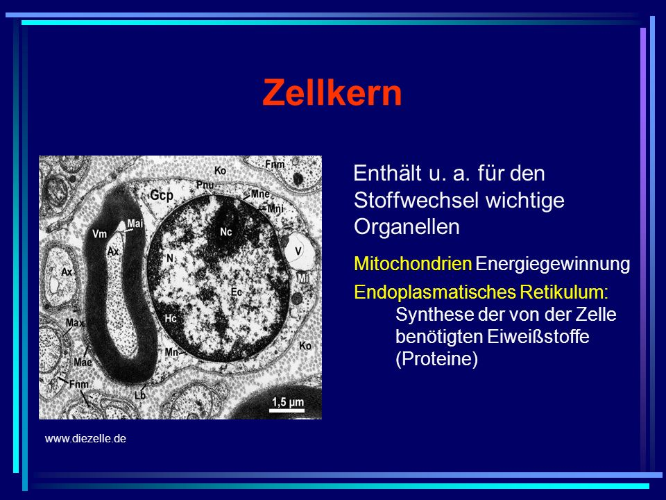 Zellkern Mitochondrien Energiegewinnung
