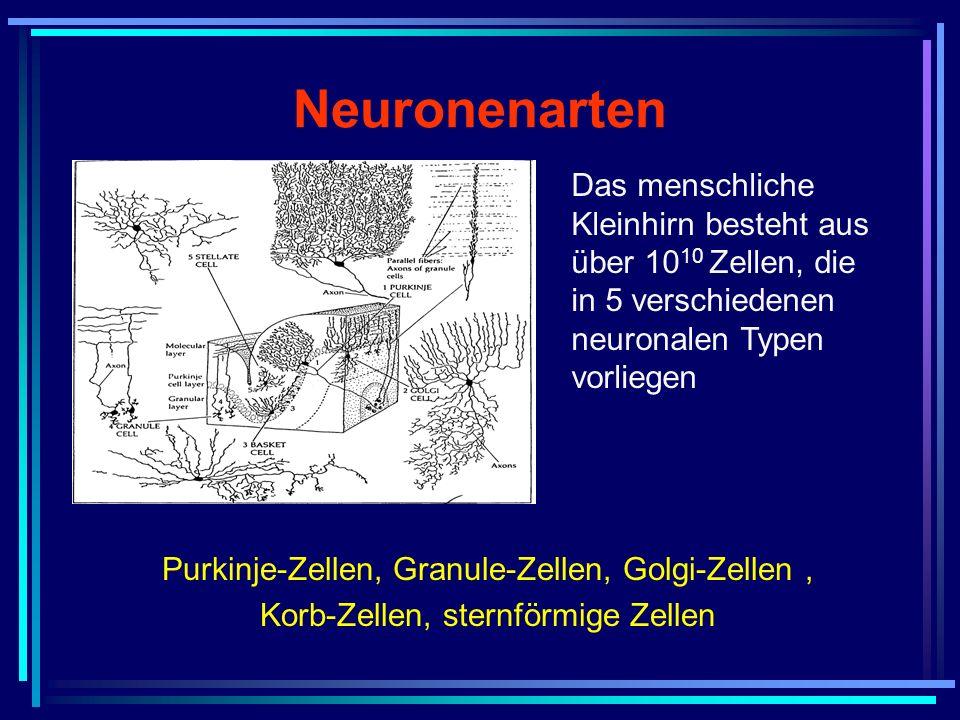 Neuronenarten Das menschliche Kleinhirn besteht aus über 1010 Zellen, die in 5 verschiedenen neuronalen Typen vorliegen.