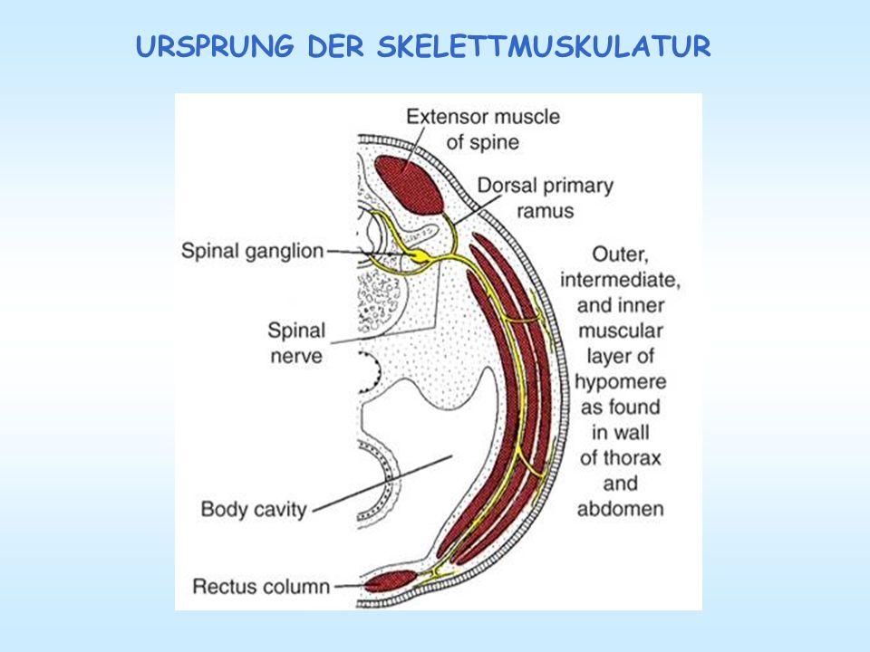 Nett Anatomie Eines Skelettmuskels Zeitgenössisch - Anatomie Ideen ...