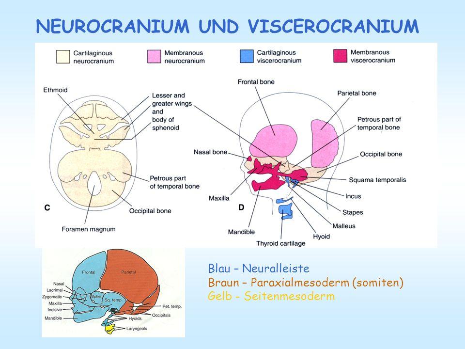 NEUROCRANIUM UND VISCEROCRANIUM