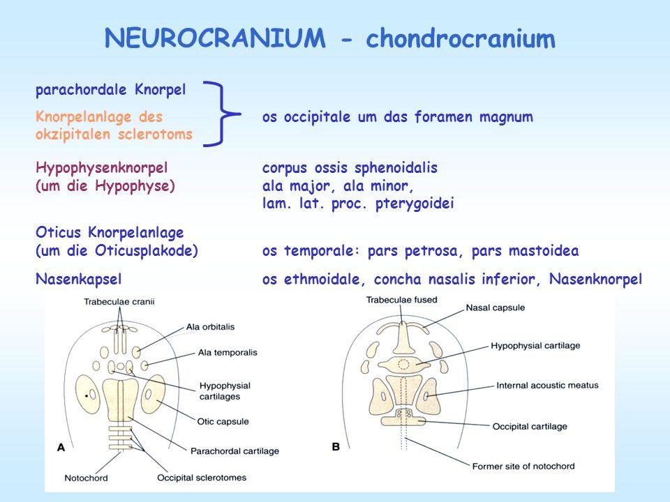 NEUROCRANIUM - chondrocranium