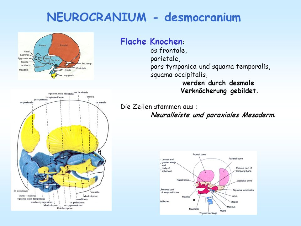 NEUROCRANIUM - desmocranium