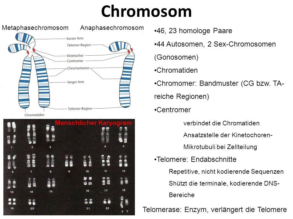 Chromosom 46, 23 homologe Paare