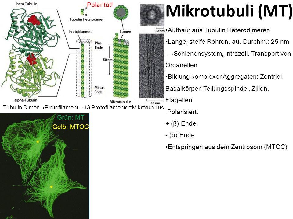 Mikrotubuli (MT) Polarität! Aufbau: aus Tubulin Heterodimeren