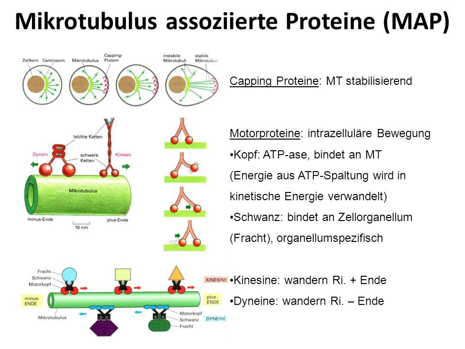 Mikrotubulus assoziierte Proteine (MAP)