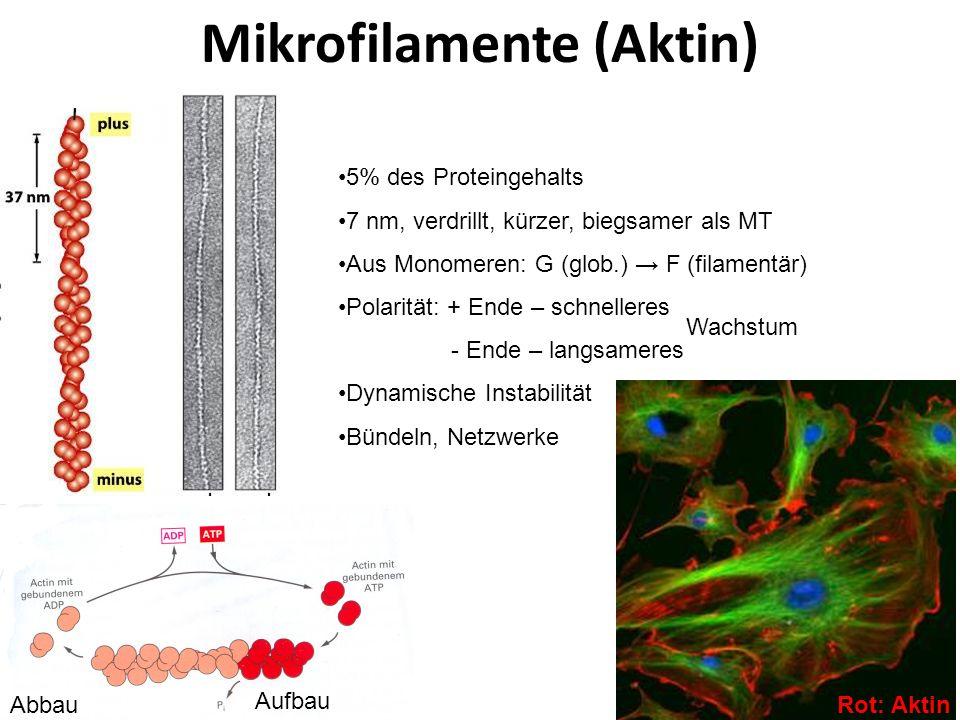 Mikrofilamente (Aktin)