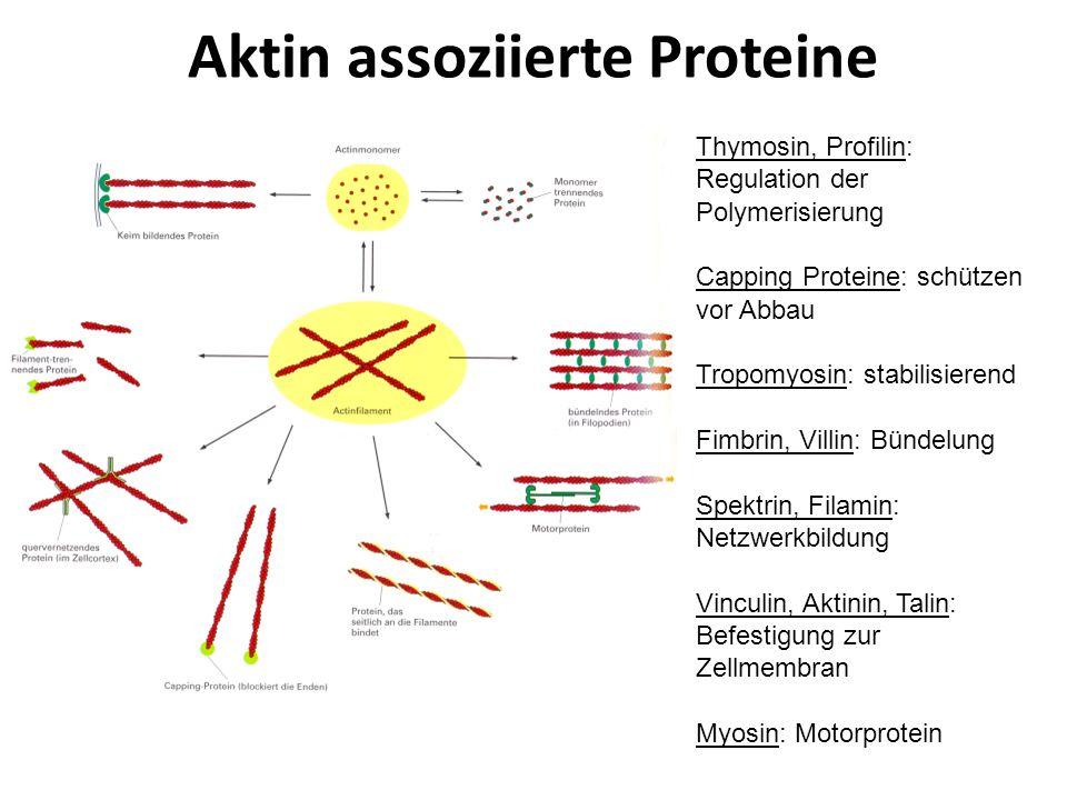 Aktin assoziierte Proteine