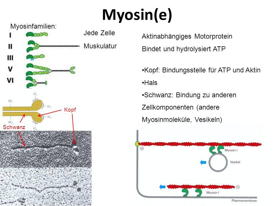 Myosin(e) Myosinfamilien: Jede Zelle Aktinabhängiges Motorprotein