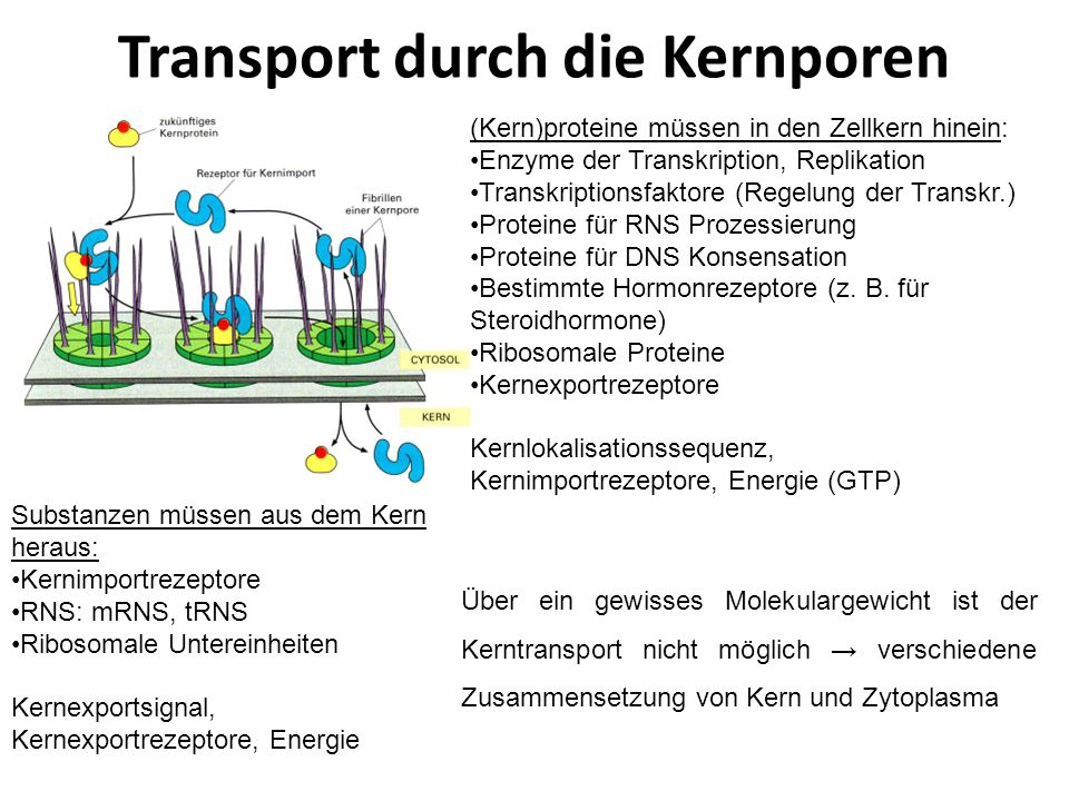 Transport durch die Kernporen