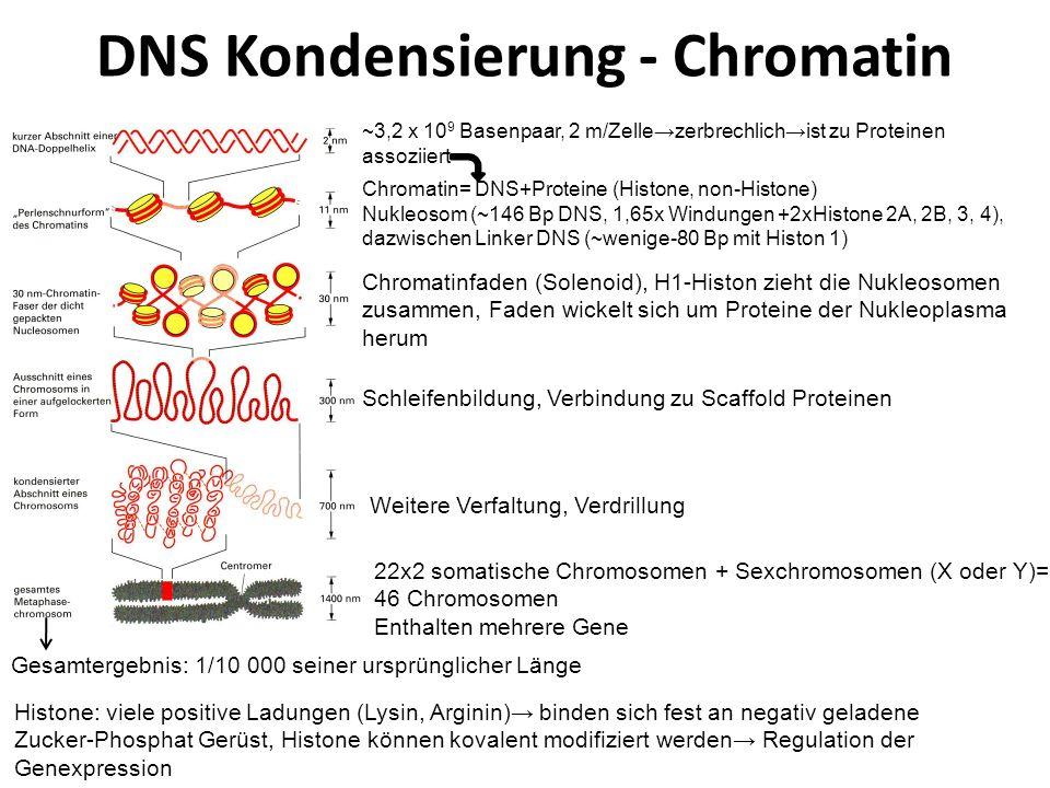 DNS Kondensierung - Chromatin