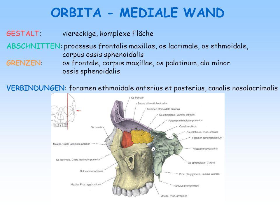 ORBITA - MEDIALE WAND GESTALT: viereckige, komplexe Fläche