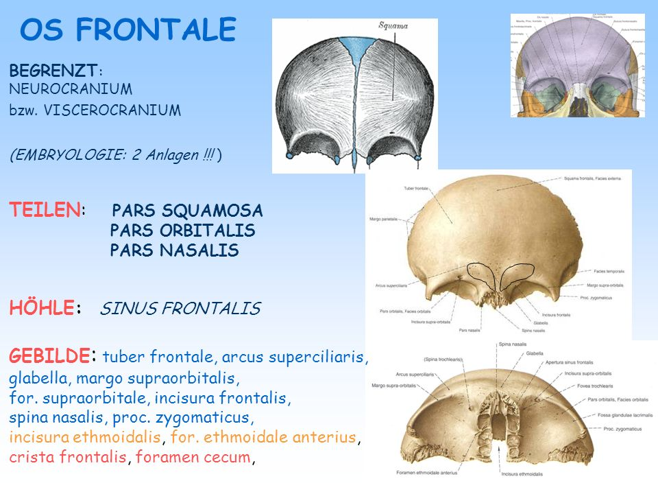 OS FRONTALE TEILEN: PARS SQUAMOSA HÖHLE: SINUS FRONTALIS