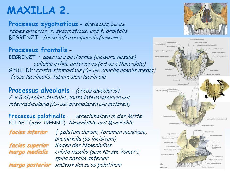 MAXILLA 2. Processus zygomaticus – dreieckig, bei der