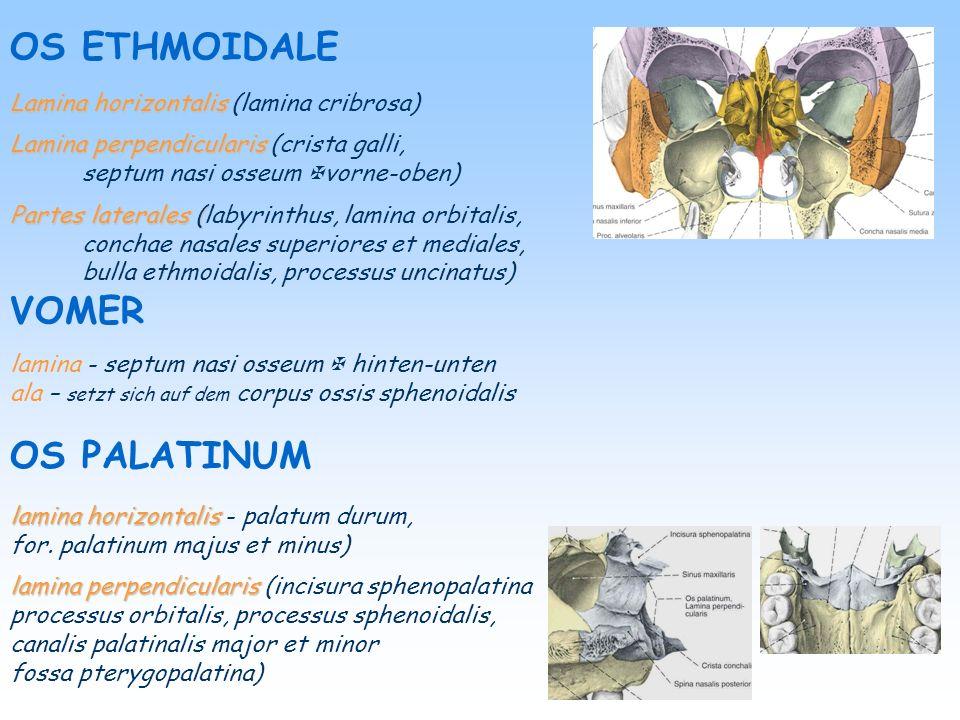 OS ETHMOIDALE VOMER OS PALATINUM Lamina horizontalis (lamina cribrosa)