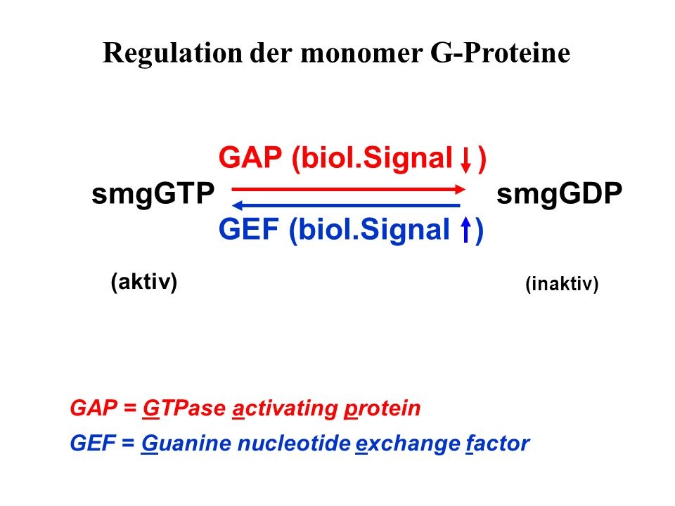 Regulation der monomer G-Proteine